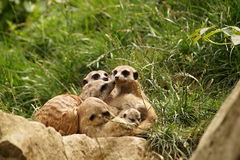 Meerkat - family with babies Stock Photography