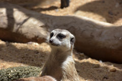 Meerkat family Stock Photos