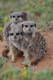 Meerkat family huddle Stock Photo