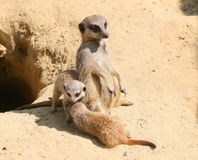 Meerkat Family Life Stock Photography