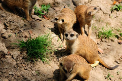 Meerkat family. A family of meerkats on a dirt in an enclosure at the Shanghai Wild Animal Park on a sunny day Stock Image