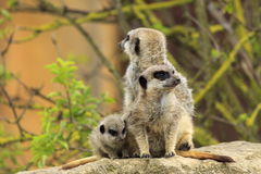 Meerkat. A family of Meerkats stay close together while keeping watch Royalty Free Stock Photo