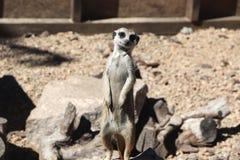 Meerkat family member Suncata suncatta on guard stock image