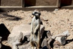 Meerkat family member Suncata suncatta on guard stock images