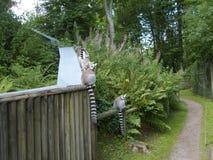 Lemur Family Outing Royalty Free Stock Photos