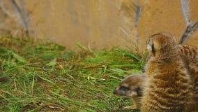 Meerkat family plays stock video