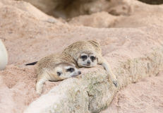 Meerkat family rest on the ground. Stock Image