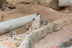 Meerkat family rest on the ground. Stock Photo
