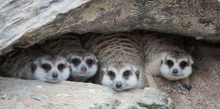 Meerkat Family are sunbathing Royalty Free Stock Photography