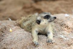 Meerkat Family are sunbathing. In nature Royalty Free Stock Image