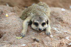 Meerkat Family are sunbathing. In nature Stock Photography