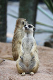 Meerkat Family are sunbathing. In nature Royalty Free Stock Photo