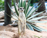 Meerkat Family are sunbathing. In nature Royalty Free Stock Photos