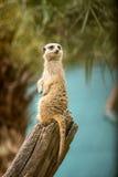 Meerkat  family  suricata  cute  nature. Standing  guard Stock Images