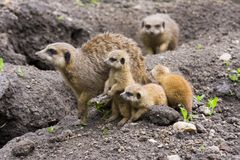 Meerkat family (Suricata suricatta) Stock Photos