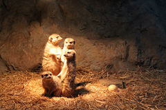 Meerkat family Stock Photo