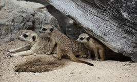 Meerkat family in the zoo Royalty Free Stock Photo