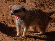 Meerkat fangs. Meerkats sport mongoose family fangs to get a fatal grip on snakes - and fingers Royalty Free Stock Photography