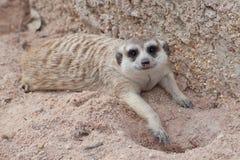 Meerkat in the farm Royalty Free Stock Photo