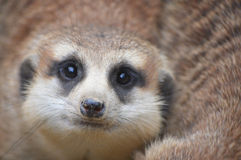 Meerkat. Fill the whole photo's space Stock Images