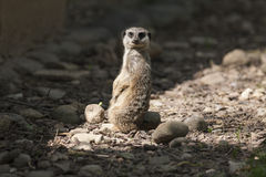 Meerkat in the forest. A meerkat in the forest Royalty Free Stock Photography