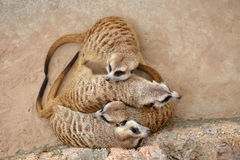 Meerkat. Four Meerkat family on vacation stock photography