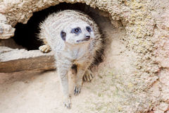 Meerkat in front of a den. A meerkat in front of a small den in a rock with shallow depth of field Stock Photography