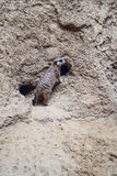 Meerkat in front of nest Stock Image