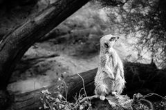 Meerkat Full Body Shot. Meerkat being raised in captivity perched on a rock looking to one side Royalty Free Stock Photo