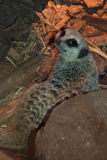 Meerkat funny close up near the pieces of wood. Meerkat funny near the pieces of wood Stock Image