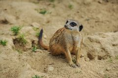 Meerkat sitting on sand watching others stock image