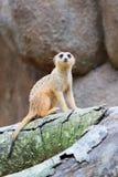Meerkat Fuss-Hahn Stockbilder