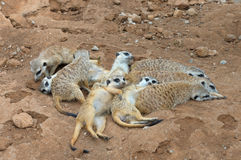 Meerkat gang or family. The meerkat is a small mammal belonging to the mongoose family royalty free stock photography