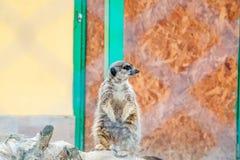 Meerkat gapi się przy coś Fotografia Stock