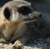 Meerkat łgarski puszek zdjęcia stock