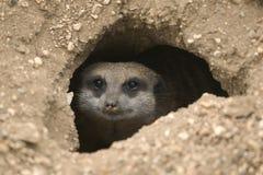 Meerkat in gat Stock Foto