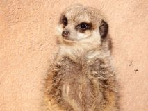 Meerkat gegen eine Wand Lizenzfreie Stockfotos