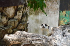 Meerkat getting from a hole Royalty Free Stock Photos