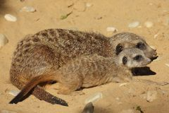 Meerkat gröngöling med vuxen meerkat Arkivfoto