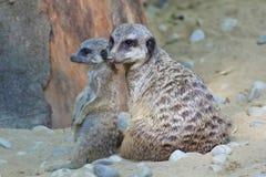 Meerkat gröngöling med vuxen meerkat Royaltyfri Fotografi