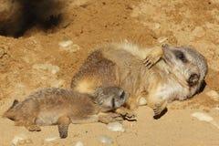 Meerkat gröngöling med vuxen meerkat Royaltyfri Foto