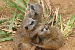 meerkat grać Zdjęcia Royalty Free