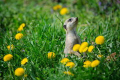 Meerkat in green grass with dandelions Royalty Free Stock Photography
