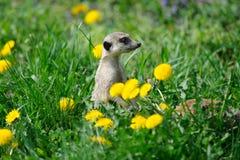 Meerkat in green grass with dandelions Royalty Free Stock Photos