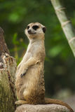 Meerkat and green nature. Meerkat stand on the rock in nature Royalty Free Stock Photo