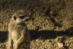 Meerkat grinar och står på dess bakre ben arkivbilder