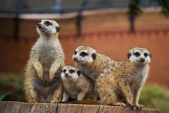 Meerkat Group Huddled Together 4 Stock Photo