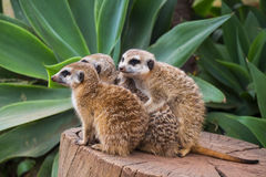 Meerkat Group Huddled Together 1 Royalty Free Stock Image