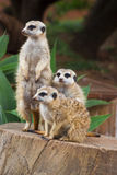 Meerkat Group Huddled Together 2 Royalty Free Stock Photos