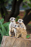 Meerkat Group Huddled Together 3 Royalty Free Stock Images